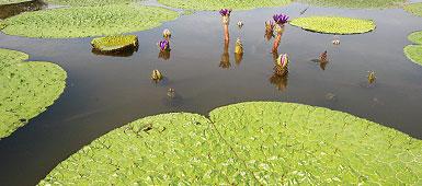 【オオヒシクイとオニバス、菜の花の名所】新潟県新潟市「水の公園 福島潟」