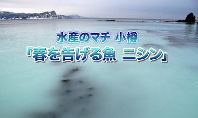 【北海道・礼文の海にニシン群来66年ぶり】DHA豊富!効能抜群の「春告魚(はるつげうお)」