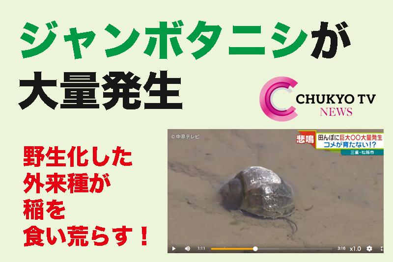 【ジャンボタニシが大量発生】野生化した外来種が稲を食い荒らす! 中京テレビ