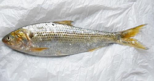 隅田川の一部のエリアでコノシロなど約3000匹の魚が大量死