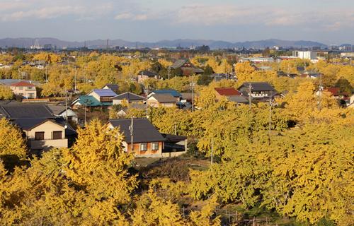 最盛期には町全体が黄金色に染まる愛知県稲沢市祖父江町
