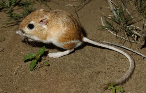 カンガルーネズミは長い後ろ足と長いしっぽが特徴的