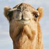 【ラクダは暑さに強い「砂漠の船」】水を飲まずに歩き続けられる理由