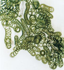 スピルリナは藍藻類(らんそう るい)の一種。核を持っていない原核生物で、細菌の一種でもある