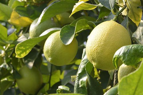 【岩城島・青いレモン】伝説の味!愛媛県の離島でとれる国産レモン